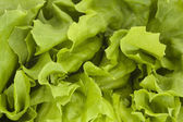 Close up of a fresh green lettuce — Stock Photo