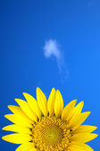 Yellow sun flower under blue sky — Stock Photo