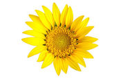 Bright yellow sun flower isolated — Stock Photo