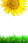 Bright yellow sun flower with grass — Stock Photo