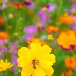 Bee working on fresh yellow flower — Stock Photo