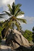 La Digue palm tree — Stock Photo