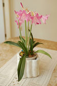 Pink lily Plant — Stock Photo