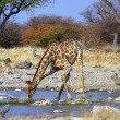 Giraffe - 