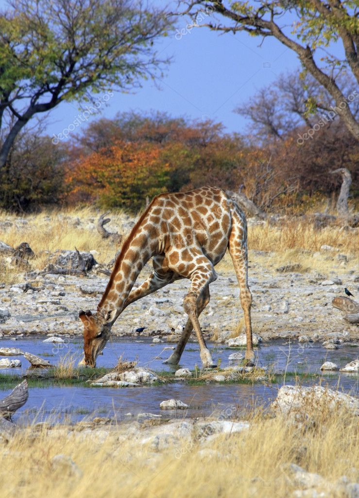 Giraffe in Etosha National Park (Namibia) — Stock Photo #3011268