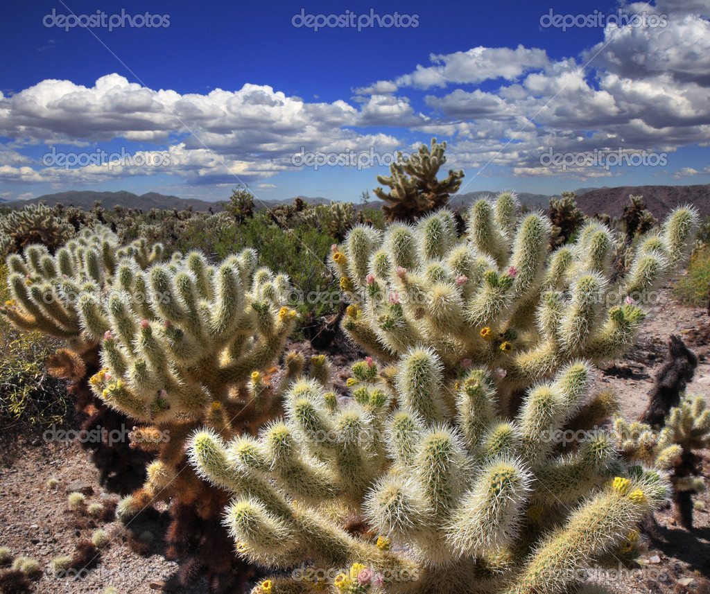 Cholla Cactus Garden in Joshua Tree National Park — Stock Photo #3548126