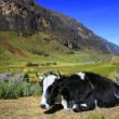 Cow laying on a green pasture - Cordillera Blanca in Peru - Stock Photo