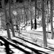 Black and white woods — Stock Photo