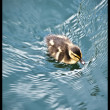 A duckling  swimming in a lake — Stock Photo