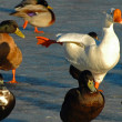 Stock Photo: Flock of ducks and goose in park