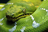 Close up green snake — Stock Photo