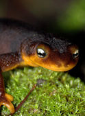 Close up view of a fire salamander in the nature. — Stock Photo
