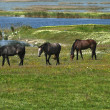 Stock Photo: Horses on the meadow