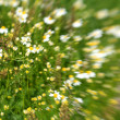 Meadow / Wild Flowers — Stock Photo