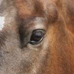 Brown horse portrait — Stock Photo