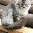 Beautiful gray cat sits outdoors — Stok fotoğraf