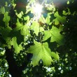 Maple leaves in sunlight beams — Stock Photo