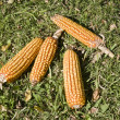 Cobs — Stock Photo