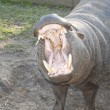 Hippo — Stock Photo #3462361