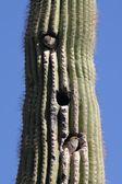 Birds in a cactus — Stock Photo