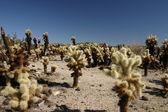 Cholla cactus — Stock Photo