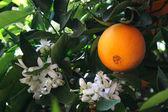 Orange and blossom — Stock Photo