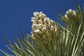 Yucca — Stock Photo