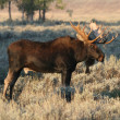 Bull moose - Stock Photo