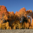 Autumn aspens — Stock Photo