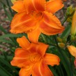 Day lily — Stock Photo