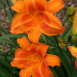 Day lily — Stock Photo #3081811