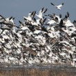Snow geese - Stock Photo