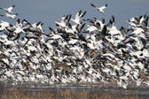 Snow geese — Stock Photo