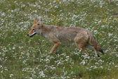 Coyote — Foto Stock