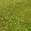 Green grass field with dandelion flowers in the summer — 图库照片