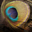 Peacock feather on a dark background — Foto de Stock