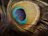 Peacock feather on a dark background — Stock Photo