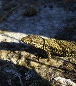 Bright colored salamander in the sun — Stockfoto