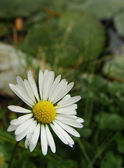 Close view of a daisy flower — Stockfoto