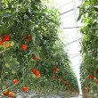 Tomatoes on the branches in the hothause - Stock Photo