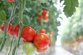 Rama de tomate en el hothause — Foto de Stock