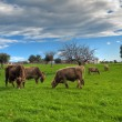 Cows grazing in countryside. — Stock Photo #3030324