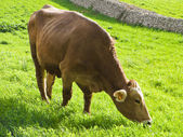 Cow eating on pasture. — Stock Photo