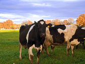Cows grazing in apulian countryside. — Stock Photo