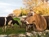 Cows grazing in green pasture. — Stock Photo