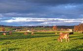 Koe begrazing bij zonsondergang. — Stockfoto