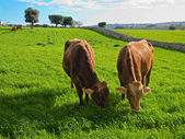 Cows eating on pasture. — Stock Photo