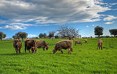 Cows grazing in countryside. — Stock Photo