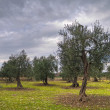 Royalty-Free Stock Photo: Typical apulian olive-tree field.