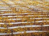 Grapevines background. — Stock Photo